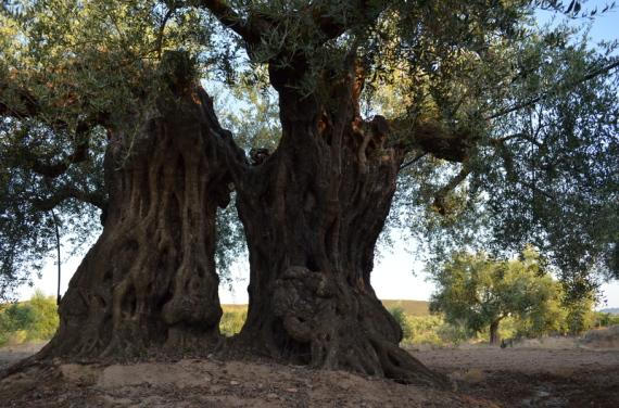 olivos-fuente-el-fresno