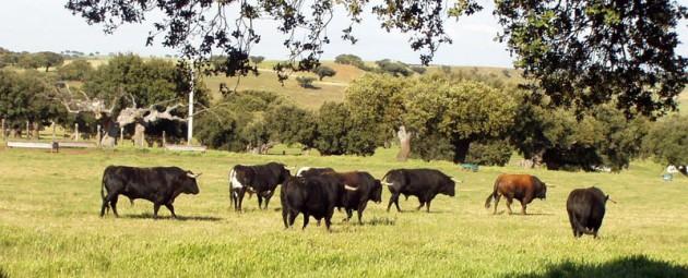 toros-fuente-el-fresno